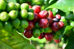 Coffee trees in garden Stock Photos