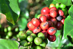 Coffee trees in garden Stock Images