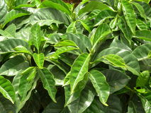 Coffee Trees Plantation Closeup. Coffee trees nursery close up in a coffee plantation Royalty Free Stock Image