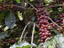 Coffee trees. With red seed. Waiting to be harvested Stock Images
