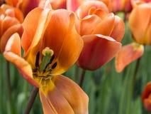 Coffee tulips in Keukenhof Botanical Garden, Holland royalty free stock photos