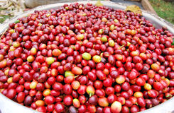 Coffee in Uganda. Unroasted arabica coffee beans from kapchorwa uganda east africa Royalty Free Stock Photos
