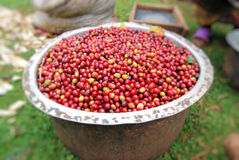 Coffee in Uganda. Unroasted arabica coffee beans from kapchorwa uganda east africa Stock Photography
