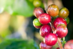 Coffee and water droplets on the tree. Closeup red grain coffee and water droplets on the tree in organic farm with morning sunlight royalty free stock photo