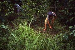 Coffeefarmers Panamá de Campesino Fotos de archivo