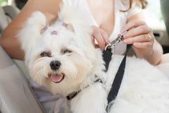 Coffre-fort de chien dans la voiture Photo stock