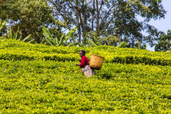 Coglitore del tè Immagini Stock
