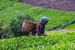 Coglitore del tè Immagine Stock Libera da Diritti