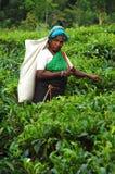 Coglitore del tè alla piantagione in Sri Lanka Fotografia Stock