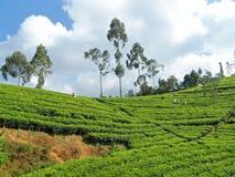 Coglitura del tè Fotografia Stock