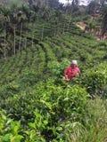 Coglitura delle foglie di tè Immagine Stock