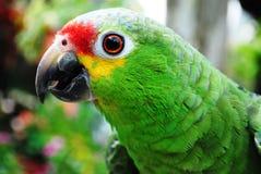 Cognac papegoja royaltyfri bild