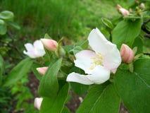 Cognassier de floraison avec des bourgeons des fleurs et des feuilles images libres de droits
