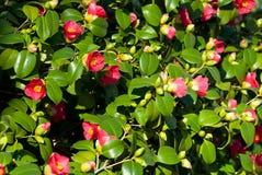 Cognassier du Japon de camélia Images stock