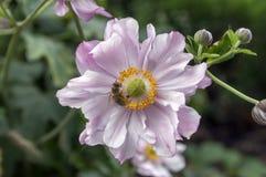 Cognassier du Japon de hupehensis d'anémone, anémone japonaise, windflower de thimbleweed en fleur photographie stock libre de droits