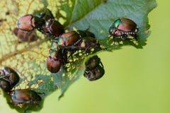 Cognassier du Japon de Popillia de scarabées japonais sur la feuille Images stock