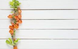 Cognassier du Japon fleurissant de Chaenomeles sur les conseils blancs Images stock