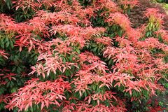 Cognassier du Japon » Pieris principal rouge principal « rouge de Pieris Photo libre de droits