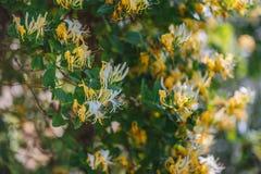 Cognassier du Japon Thunb de Lonicera ou fleur jaune et blanche de chèvrefeuille japonais dans le jardin images libres de droits