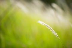 Cogon gräs royaltyfria bilder
