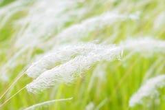 Cogon gräs i det löst Arkivfoto