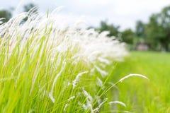 Cogon-Gras im wilden Stockbild