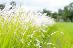 Cogon grass in the wild. Stock Image