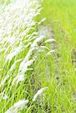 Cogongras in de wildernis Royalty-vrije Stock Afbeelding