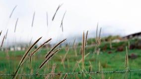 Cogongras met de achtergrond van grote berg royalty-vrije stock foto's