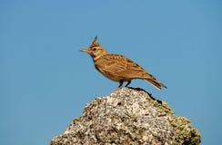 Cogujuada Vogel auf einem Felsen Lizenzfreie Stockbilder