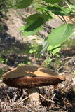 cogumelo Foto de Stock