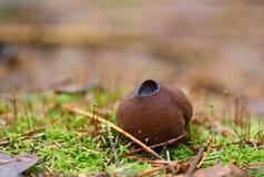Cogumelo adiantado da mola Posto em perigo altamente fotografia de stock
