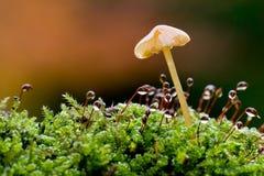 Cogumelo alaranjado Fotografia de Stock
