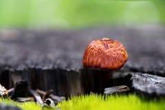 Cogumelo alaranjado Fotos de Stock