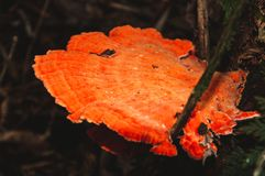 Cogumelo alaranjado na árvore imagens de stock royalty free