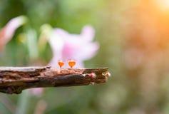 Cogumelo alaranjado ou cogumelo de Champagne na floresta tropical sob a luz do sol, Tailândia fotos de stock