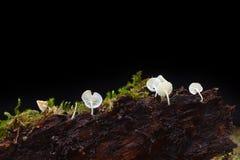 Cogumelo alba de Mycena Fotografia de Stock Royalty Free