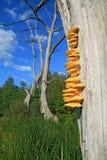 Cogumelo amarelo foto de stock royalty free