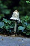 Cogumelo & hera Fotografia de Stock