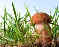Cogumelo branco Foto de Stock