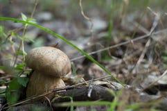 Cogumelo branco Imagem de Stock