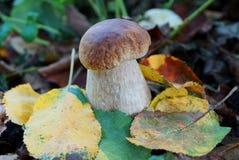 Cogumelo branco com um tampão marrom nas folhas caídas amarelas Imagens de Stock Royalty Free