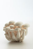 Cogumelo branco de Shimeji no fundo branco Fotos de Stock Royalty Free