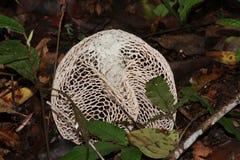 Cogumelo branco de surpresa na floresta foto de stock