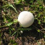 Cogumelo branco do puffball na grama na luz solar Vista superior imagens de stock royalty free