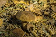 Cogumelo branco em um outono seco imagens de stock