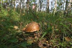 Cogumelo branco na floresta Imagens de Stock