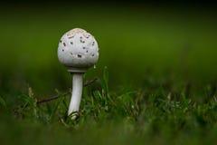 Cogumelo branco na grama verde Fotos de Stock Royalty Free