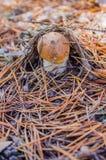 Cogumelo branco pequeno na floresta de Mari Imagens de Stock