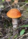 Cogumelo brilhante do boleto do alaranjado-tampão Imagem de Stock Royalty Free